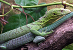Thumbnail A Quick Overview of Lizards